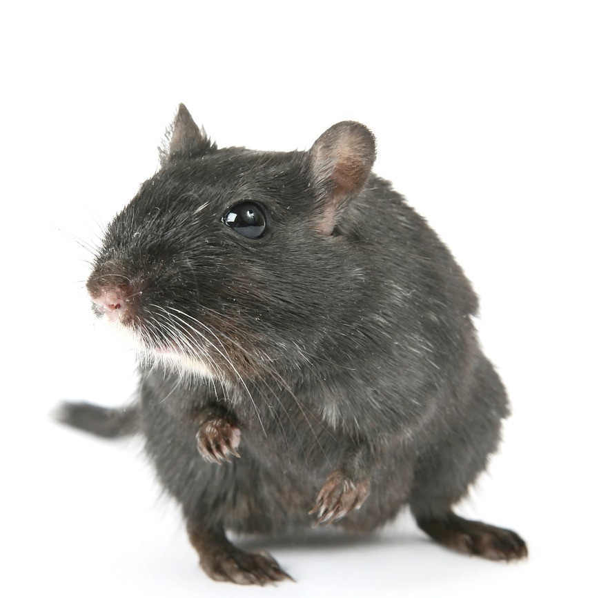 Rodent pest control in Newham